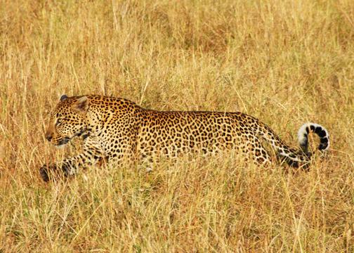 Leopard72